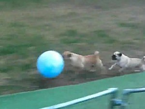 pugs playing soccer