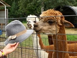 Alpacas Don't Like Hats