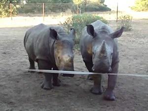 Baby Rhinos Have a Conversation