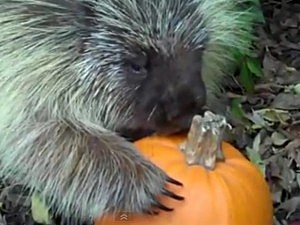 Porcupine Won't Share Pumpkin