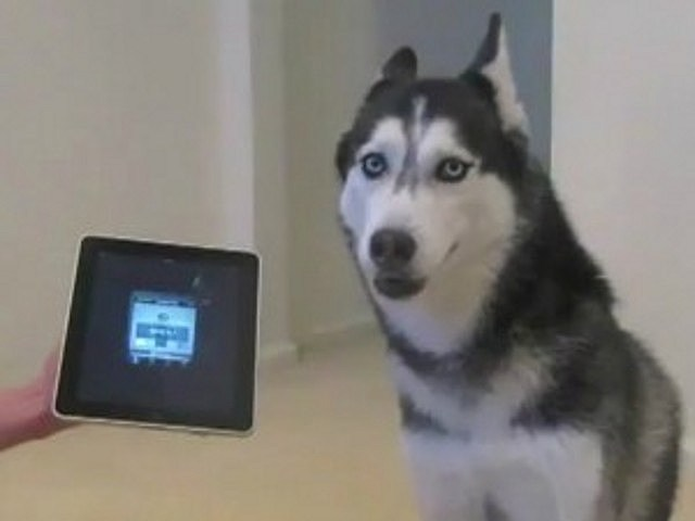 husky sings along with ipad