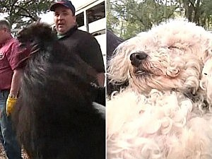 Rooster, poodle save family from fire