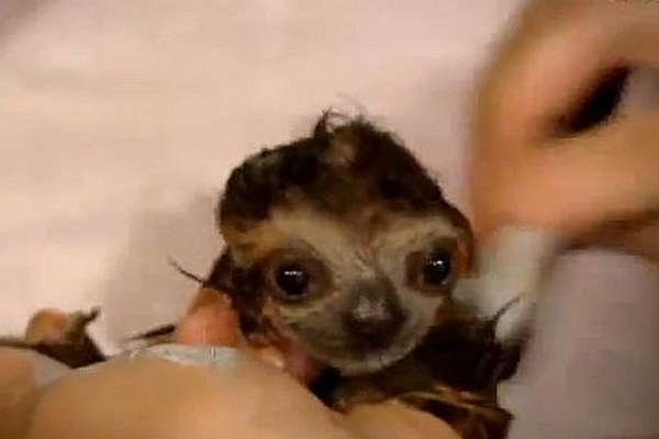 Baby Sloths Bathing Will Melt Your Brain With Cuteness Video