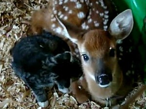 Fawn and Kitten Make Adorable Pair