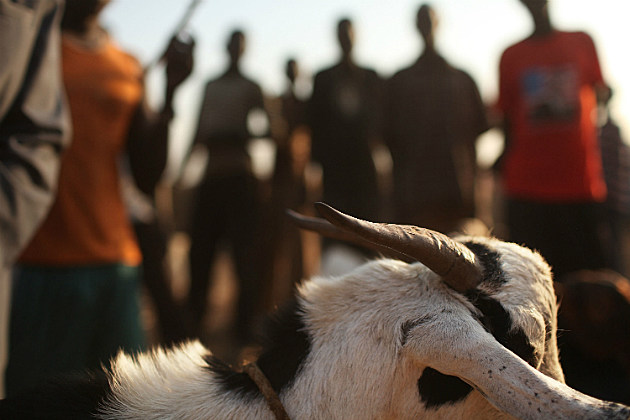 a Sudanese goat