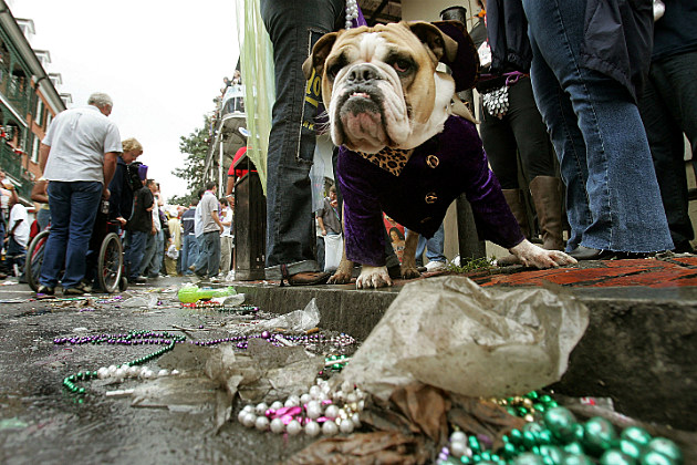 bull dog dressed in purple for Mardi Gras