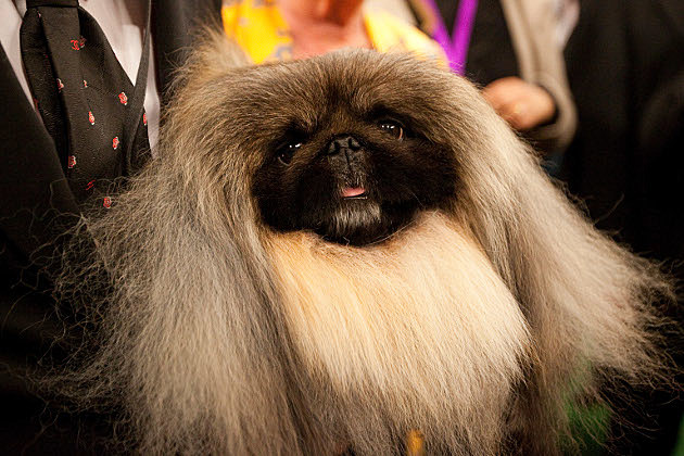 Malachy Westminster Dog Show
