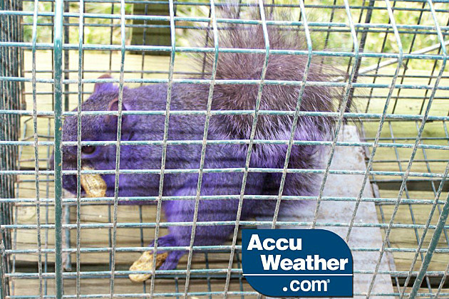 purple squirrel found in Pennsylvania