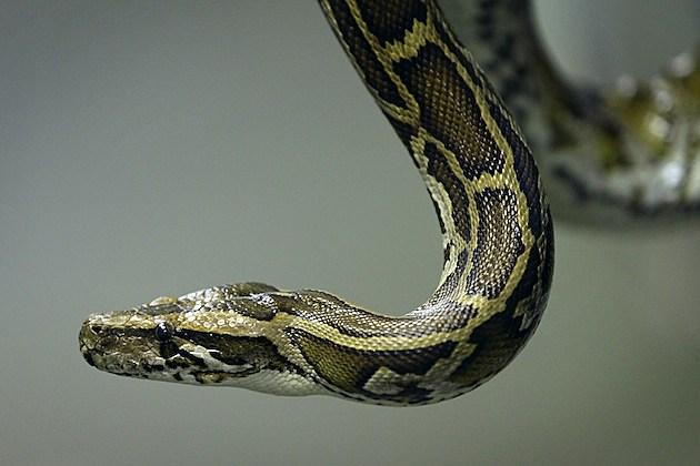 Animals At The Heathrow Animals Reception Centre burmese python