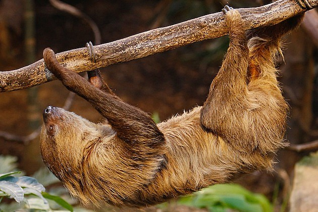 London Zoo Holds Its Annual Animal Stocktake sloth