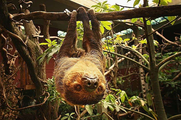 New Rainforest Exhibit Home To World's Smallest Monkeys sloth