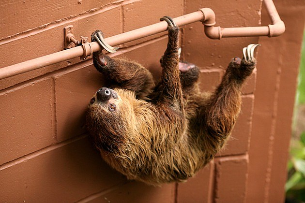 rainforest sloth hanging