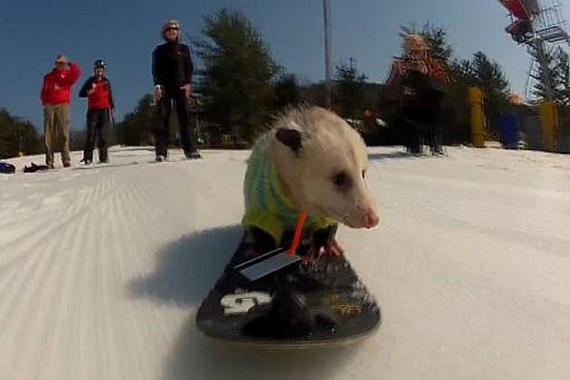 snowboarding opossum
