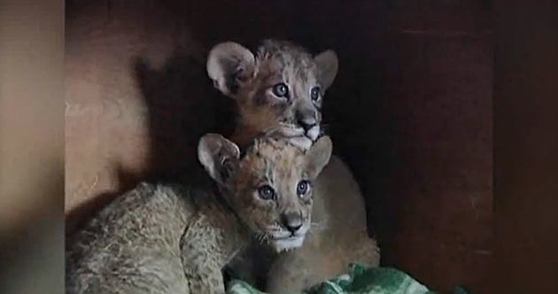 Tigon cubs China