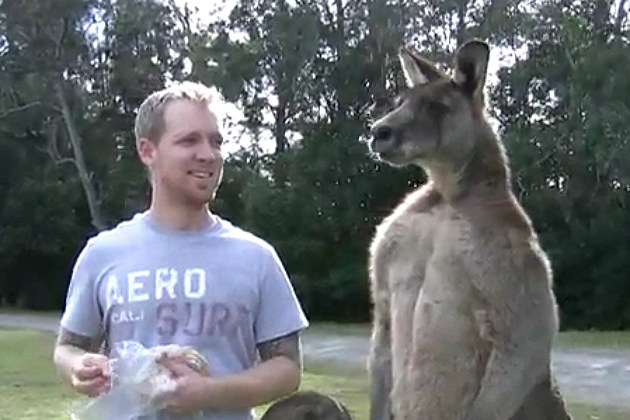 Man Hand Feeds a Giant Kangaroo