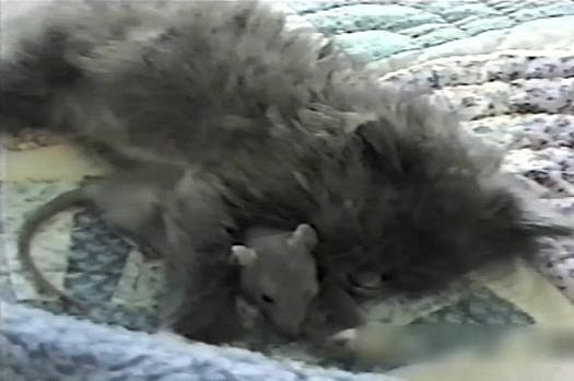 Rat and cat