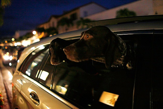 Elite Palm Beach Community Has Many Ties To Wall Street Fraud Madoff dogs limo car window