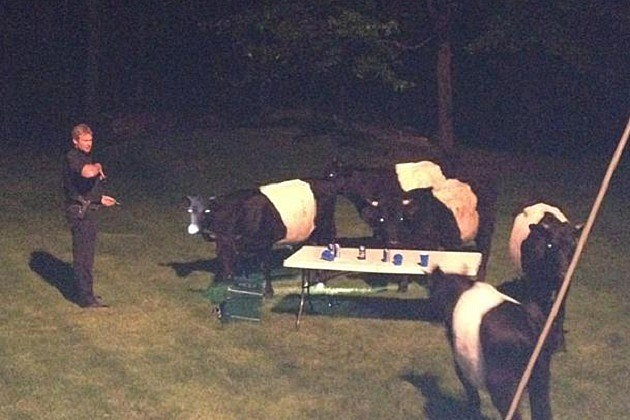 Cows crash beer pong party