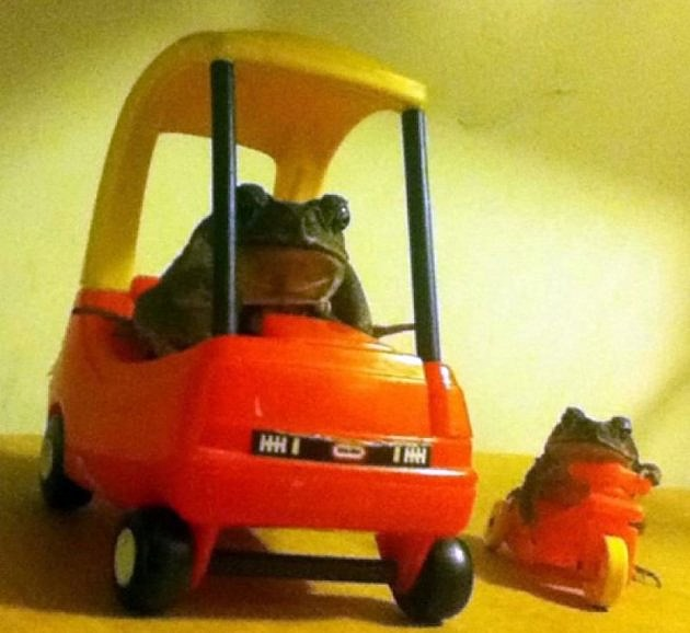 Frogs in cars