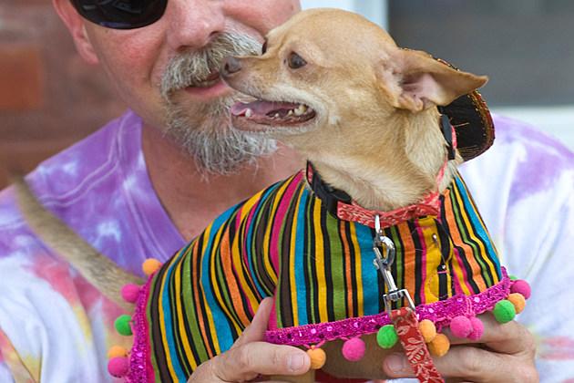 Chihuahua Costume Parade for Cinco de Mayo