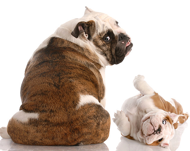 Baby Bulldog with Mom