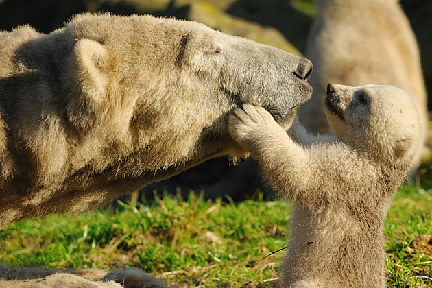 Baby Polar Bear with Mom