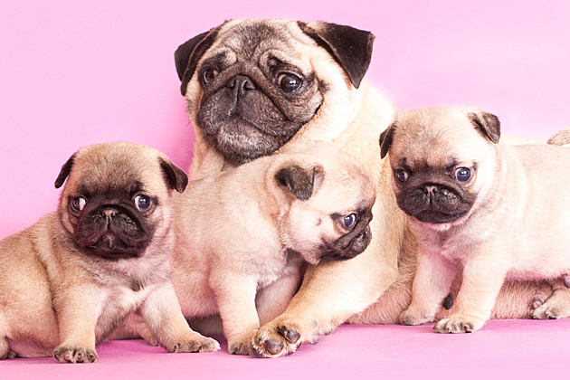 Baby Pugs with Mom