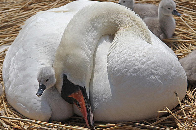 Baby Swan with Mom