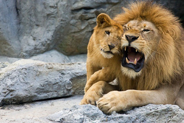 Baby Lion with Dad