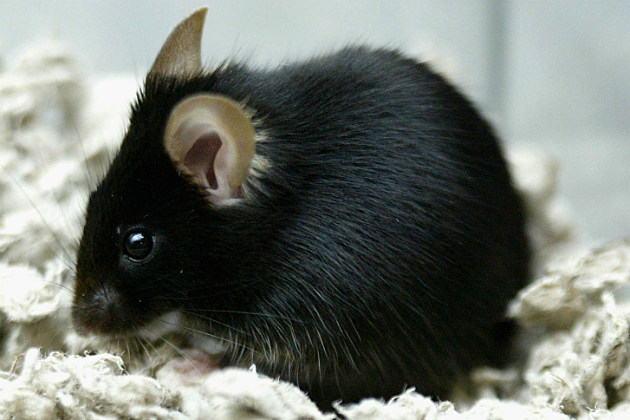Man Catches Bubonic Plague After Saving Mouse from Cat
