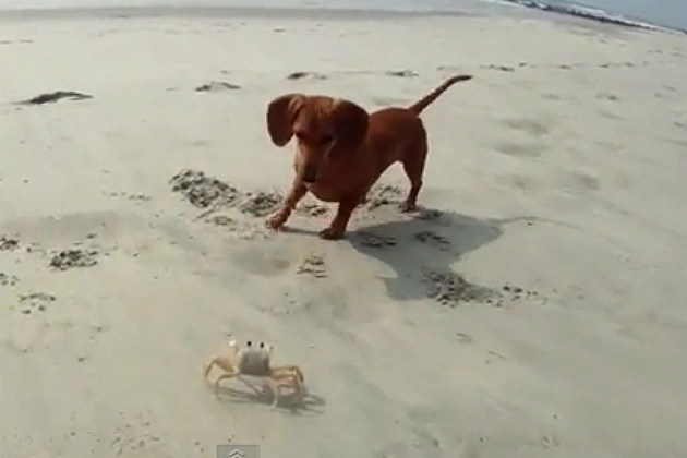 Puppy Squares Off Against Crab