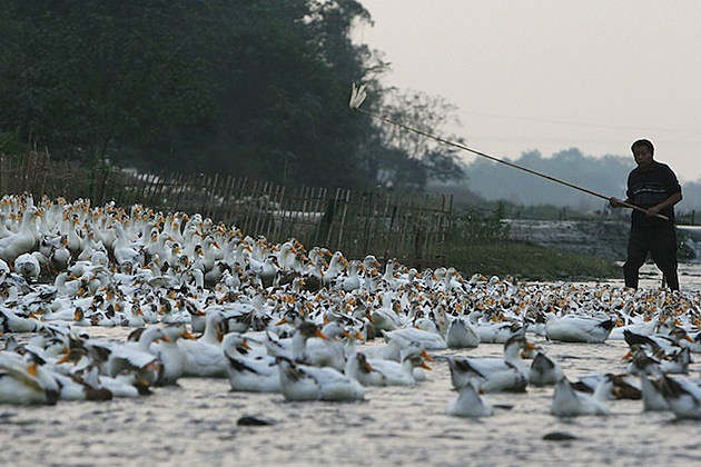 China Steps Up Bird Flu Surveillance ducks farmer flock herd
