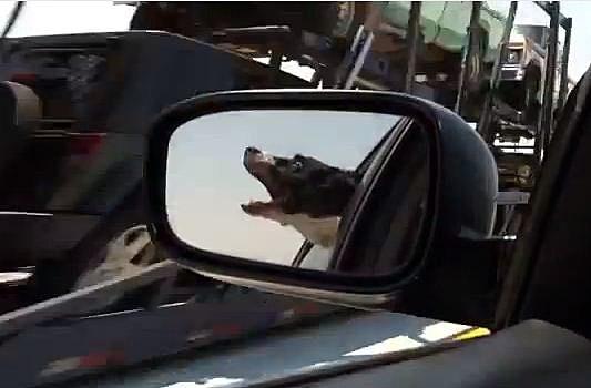 Dog eats traffic