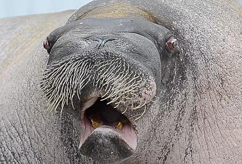 E.T. Walrus