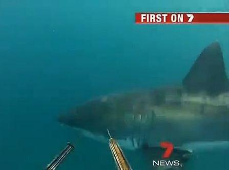Shark divers
