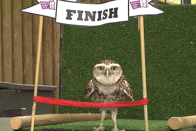Animal Athlete - Bob the Owl