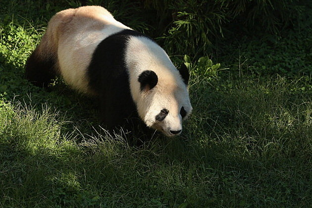 Death of Baby Panda