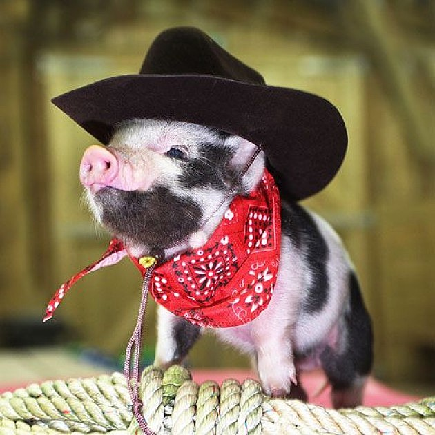 Baby Pigs Wearing People Clothes Might Be The Web S Cutest