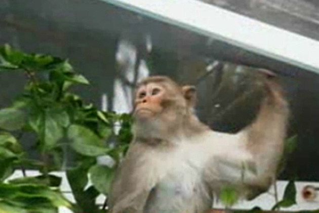Mystery Monkey of Tampa Bay Captured