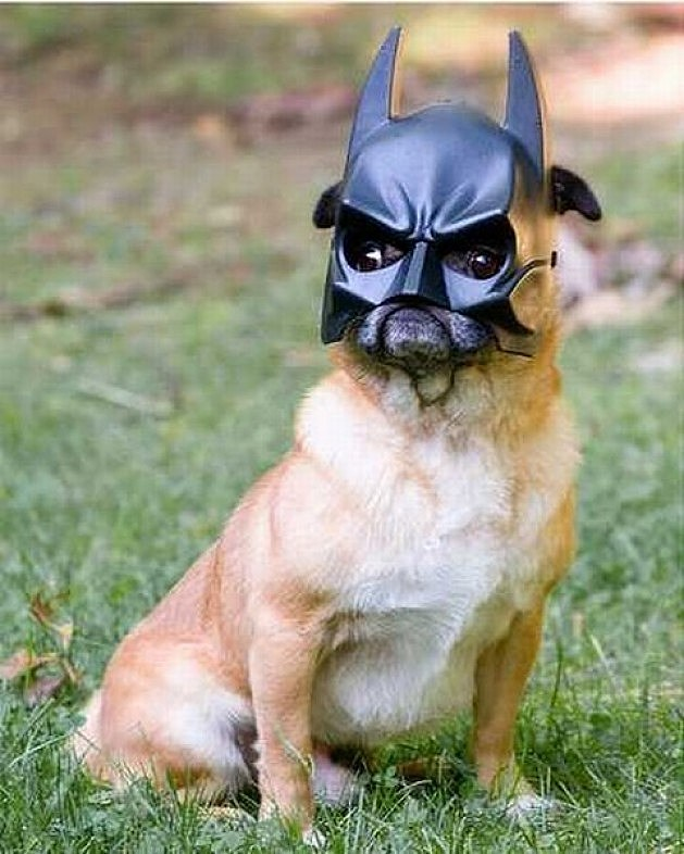 Pug Dressed as Batman Batman Pug