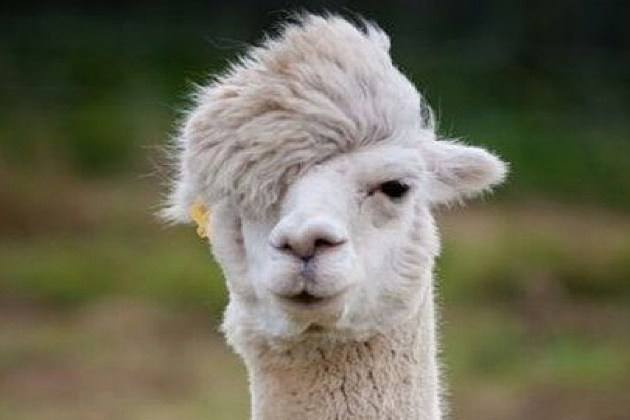 Llamas Are Funny Creatures They're Looking Find Cows