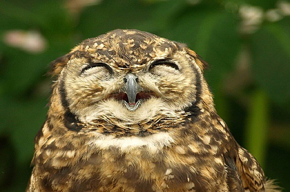 High owl