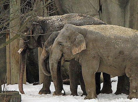 Elephant snow