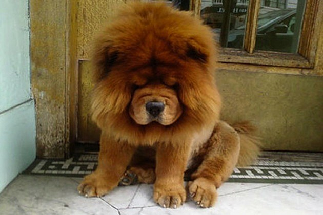 Dog Breed That Looks Like a Lion Dogs That Look Like Lions