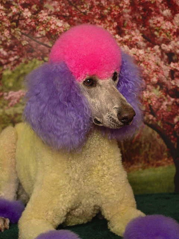 Ridiculous Poodle