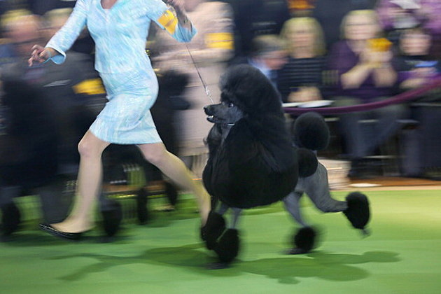 A Standard Poodle Competing at the Westminster Dog Show