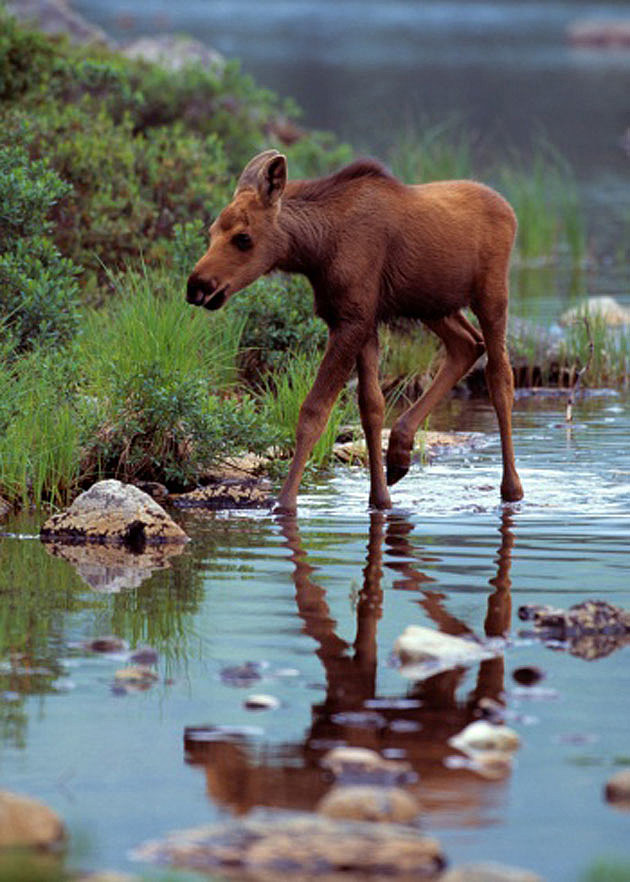 Baby Moose 3