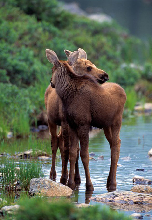 Baby Moose 2