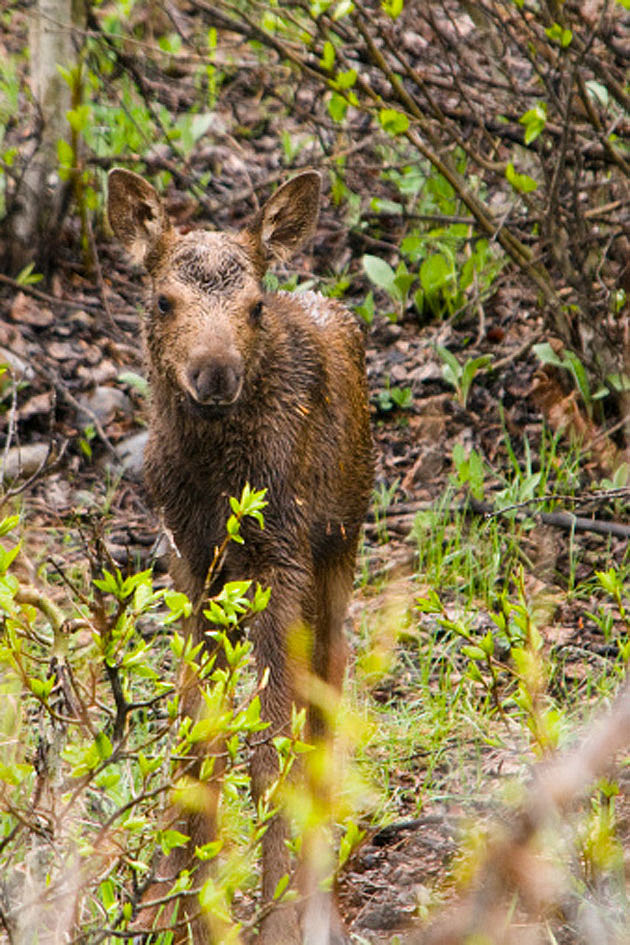 Baby Moose 11