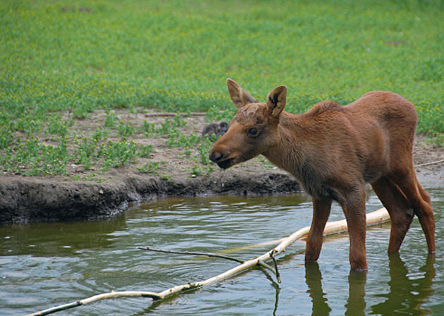 Baby Moose 10